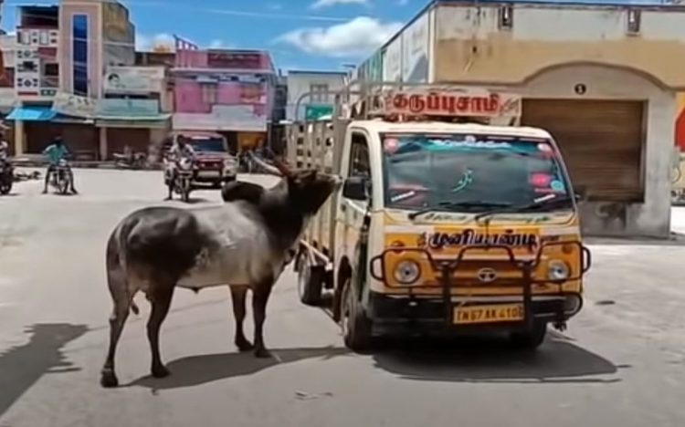 La mucca venduta dal proprietario