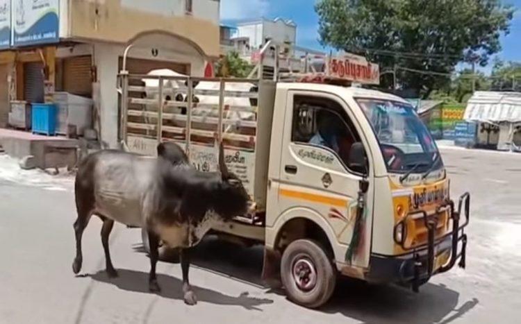 Toro non vuole lasciare la mucca