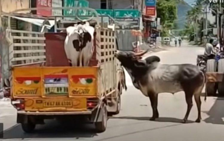 Il toro innamorato della mucca
