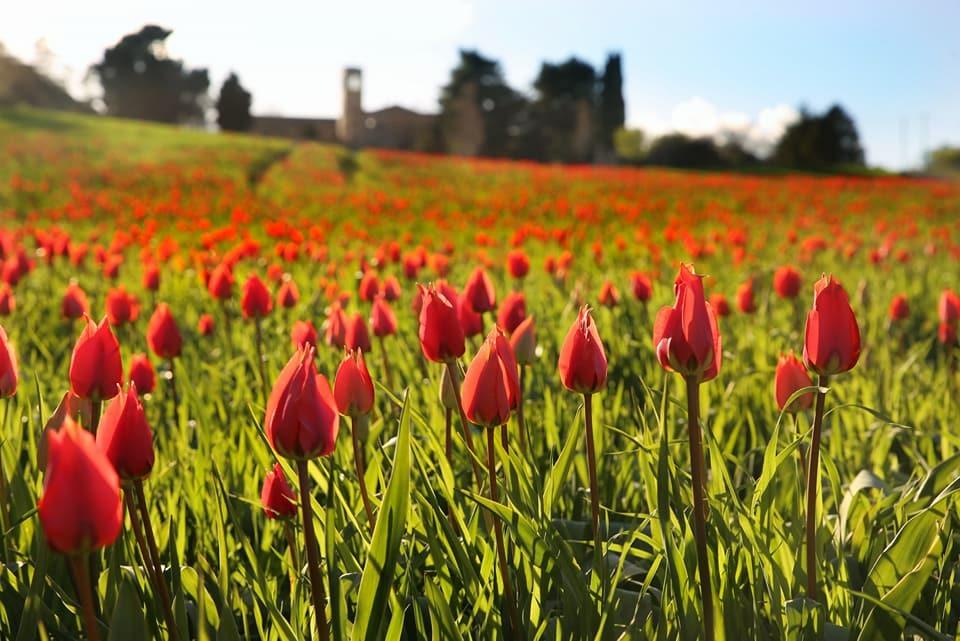 blufi e i suoi tulipani