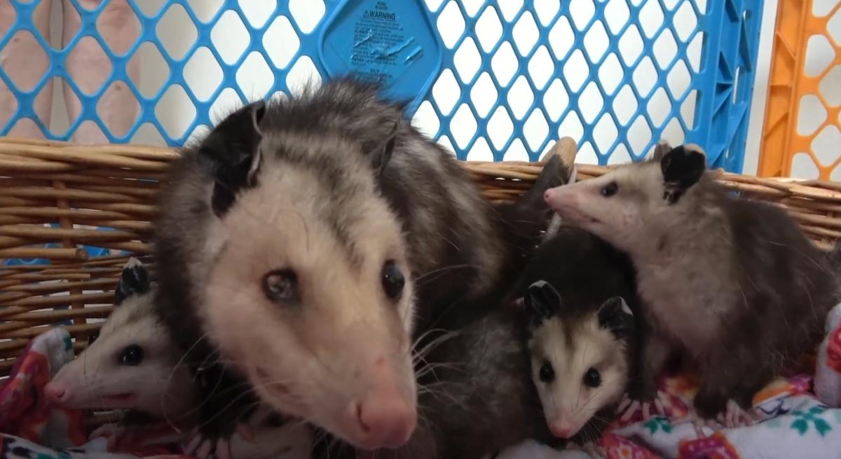 Mamma opossum