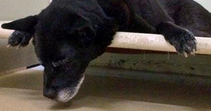 La storia di Ox, l'anziano cagnolino abbandonato in un rifugio