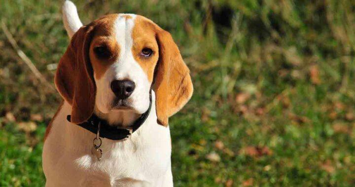 Beagle vuole giocare con l'amico