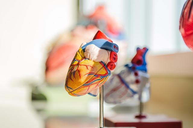 Come funziona il cuore