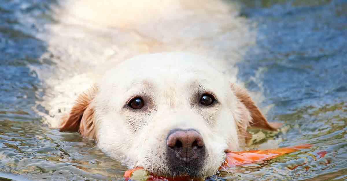 Cane insegna a nuotare ai cuccioli