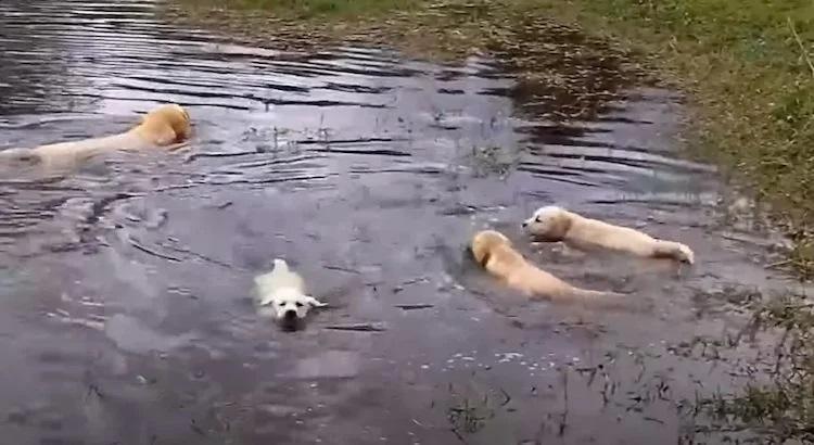 Cani nelle acque dello stagno