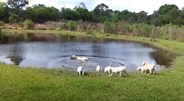 i cani imparano a nuotare nel lago