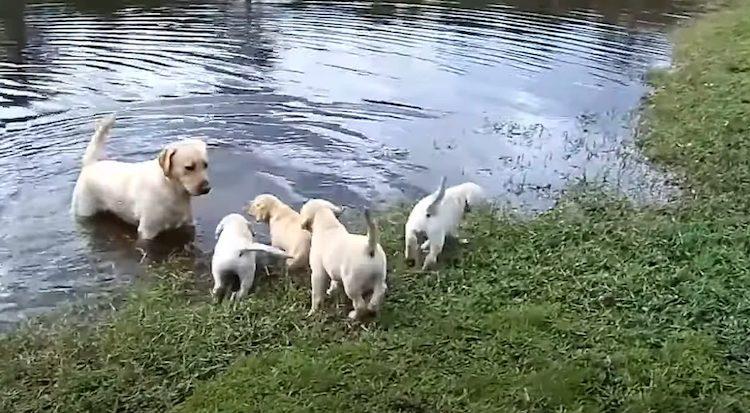 Labrador in acqua con i cuccioli