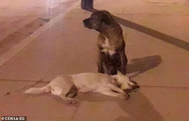 Cane randagio cerca di svegliare l'amico morto