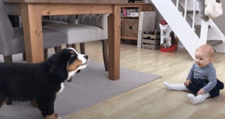 Il video del cucciolo di Bovaro del Bernese e una bimba