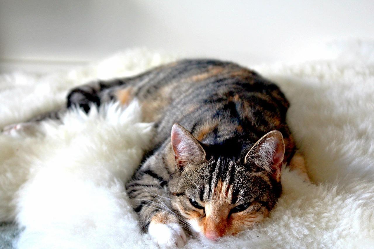 gatto micio