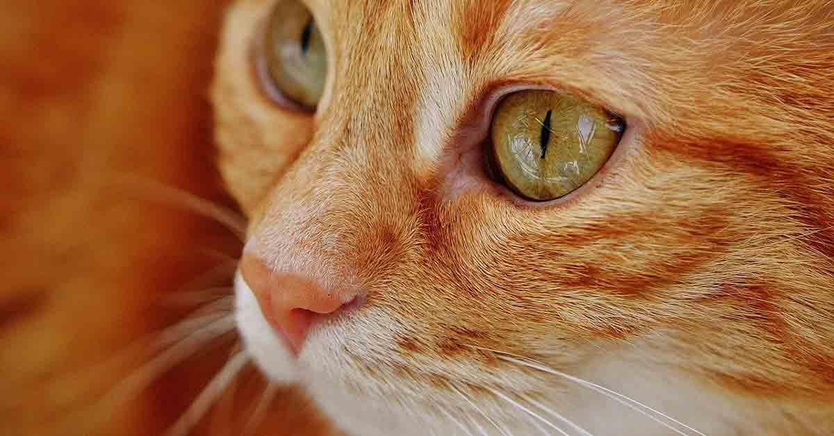 Gatto rosso saluta tutti
