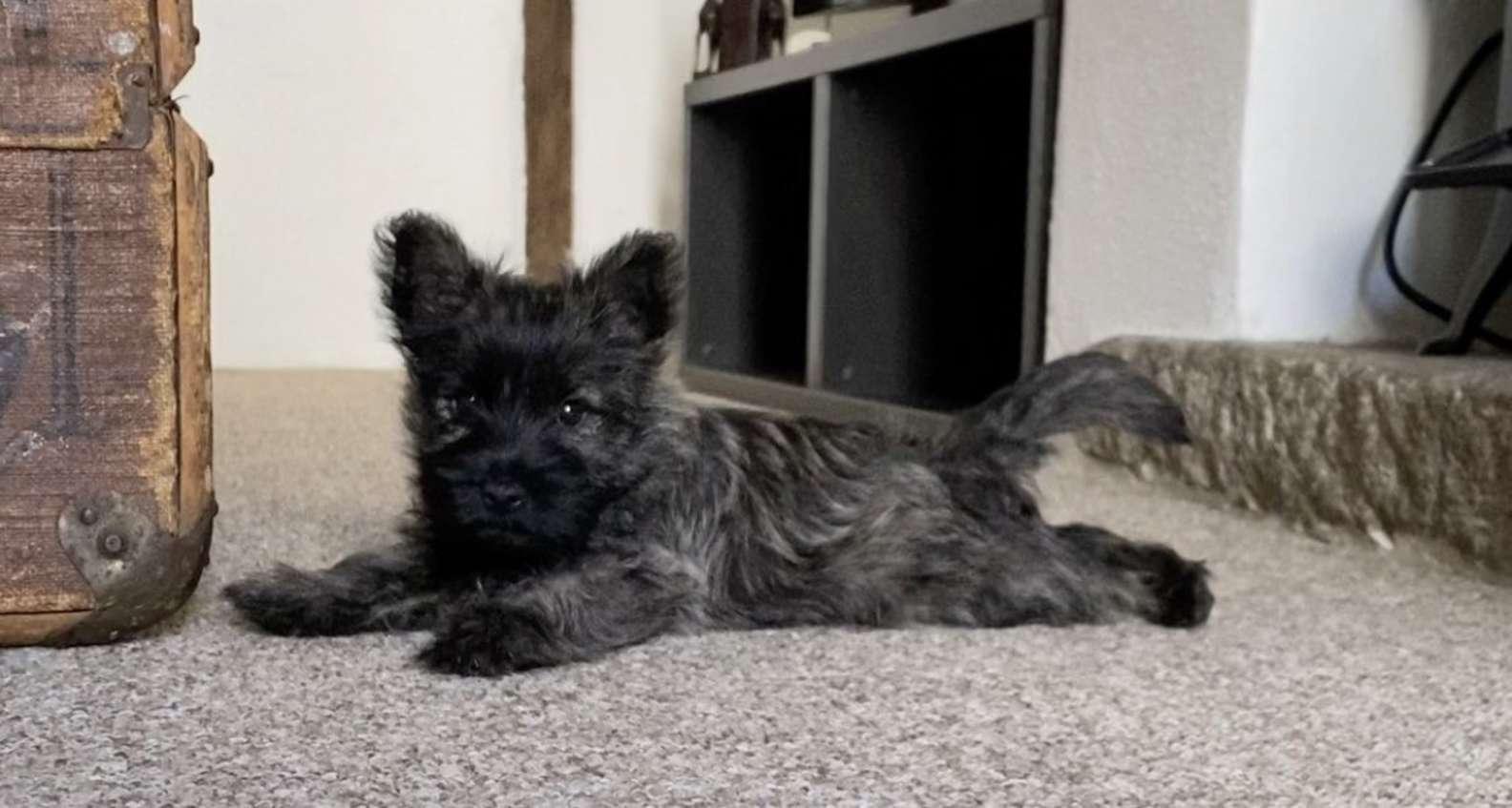 Cane nero di razza piccola