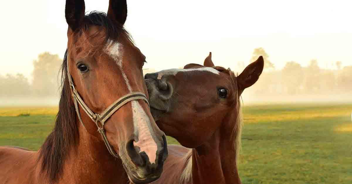 I cavalli non vomitano