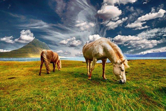 Cavalli al pascolo in un prato verde