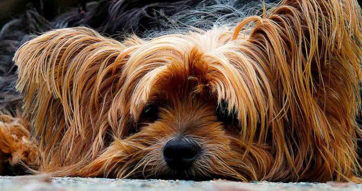 Yorkshire Terrier torna a casa