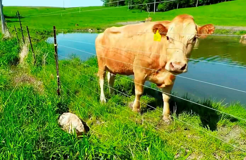 Dave salva il vitellino