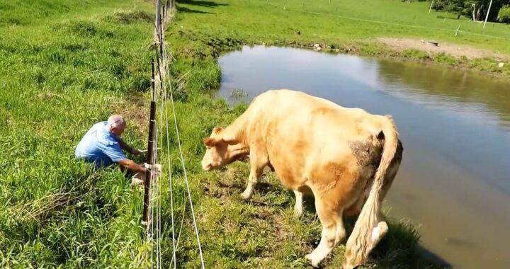 Il video commovente di Dave: mamma mucca si riunisce con il suo vitellino