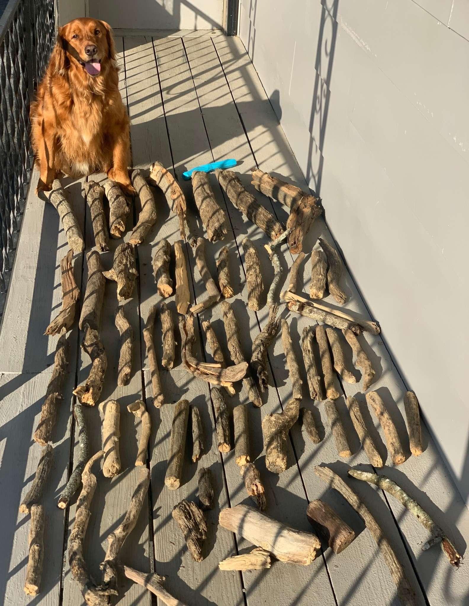 Il Golden Retriever e i bastoncini di legno