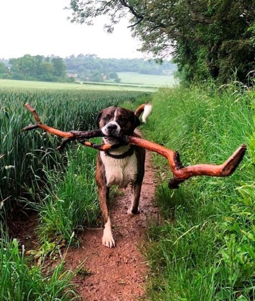 Cane porta tronchi giganti