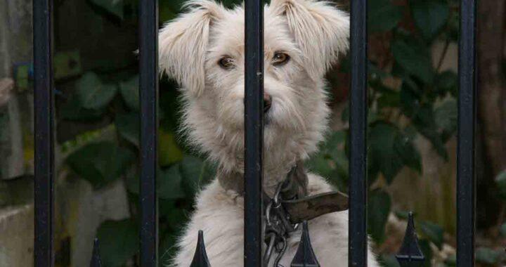Cane portato via da sconosciuti