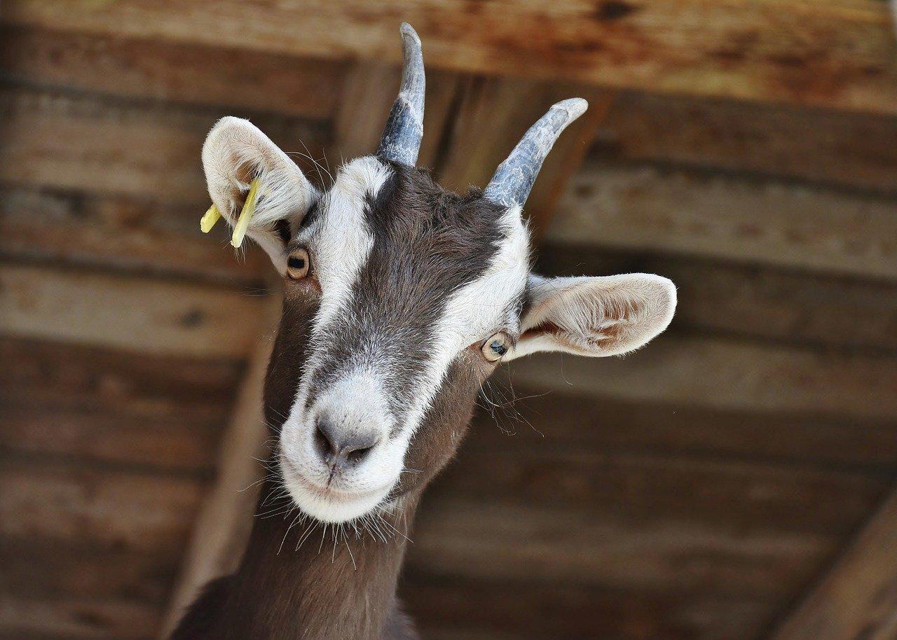 La capretta con le corna