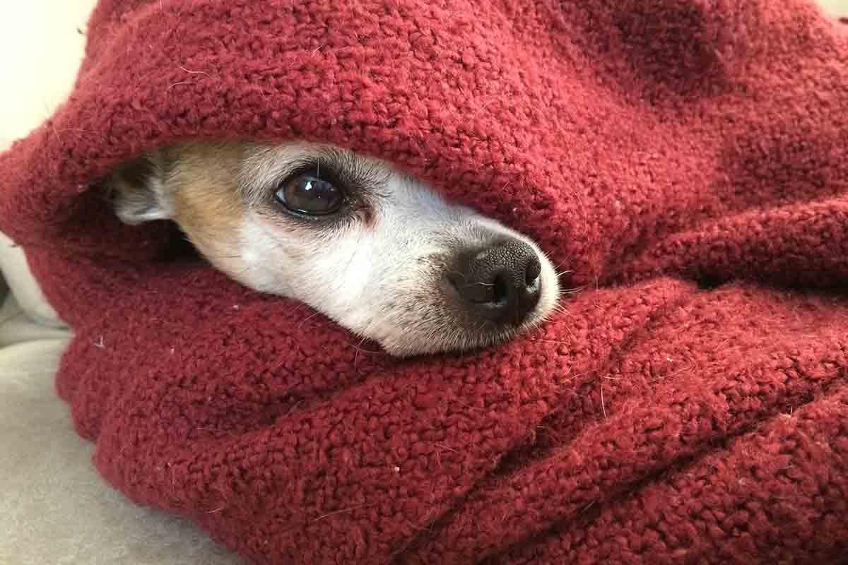 Chihuahua piange al computer