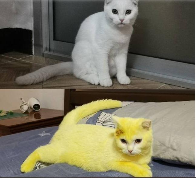 Il gatto Thammapa Supamas