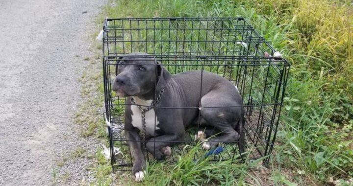 Femmina di pitbull abbandonata sul ciglio della strada