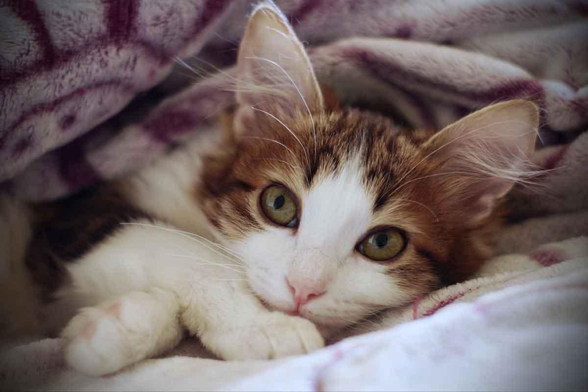 Gattino soriano orfano