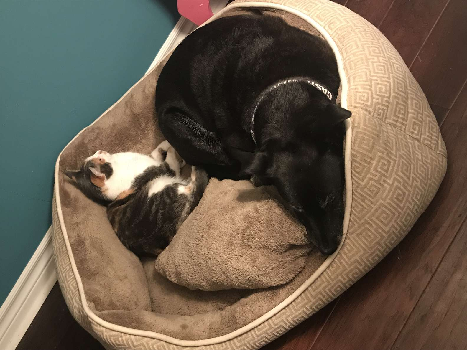 Cucciolo e gattino dentro la stessa cuccia
