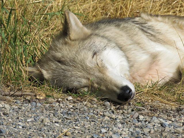 Giuditta il cane lupo cecoslovacco