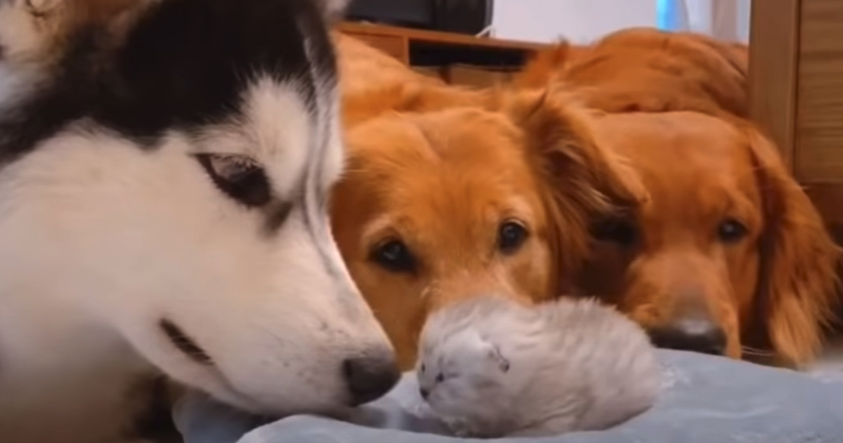 Golden Retrieverr, Husky, micino