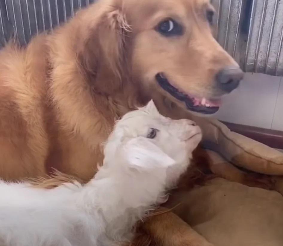 Il cane Niuniu e la pecora Liuly