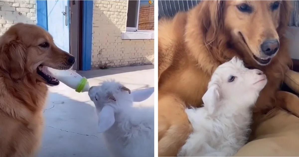 Il cane si prende cura della pecorella
