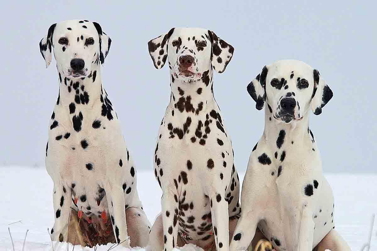 Cani di razza Dalmata