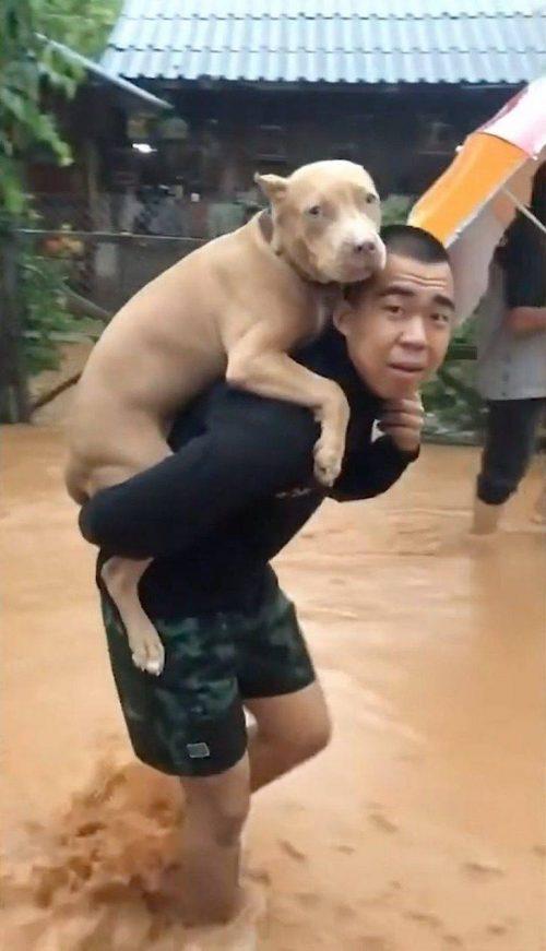 Pit bull trasportato da un uomo