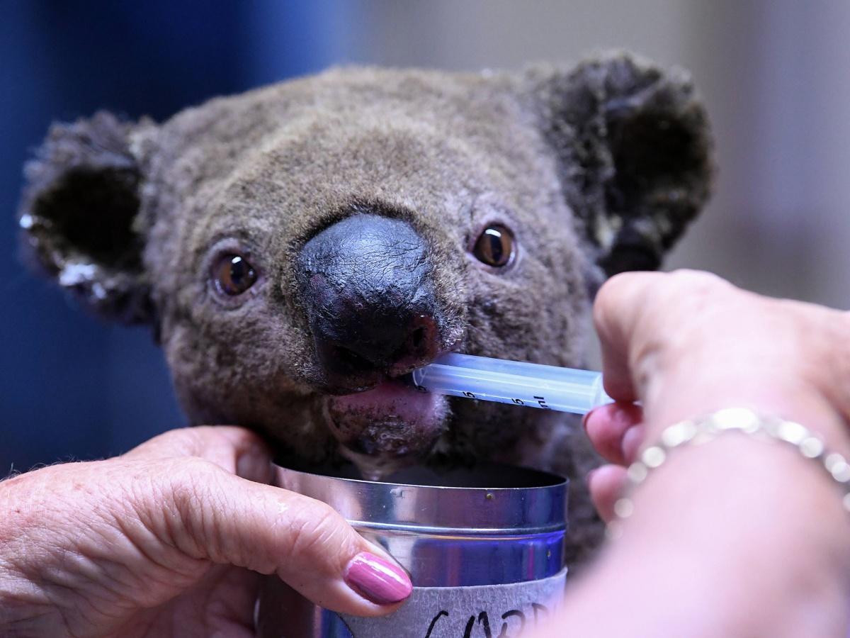 Bear e il salvataggio dei koala