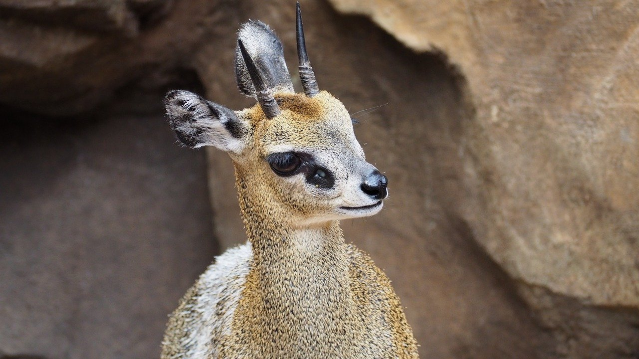 Klipspringer-animale