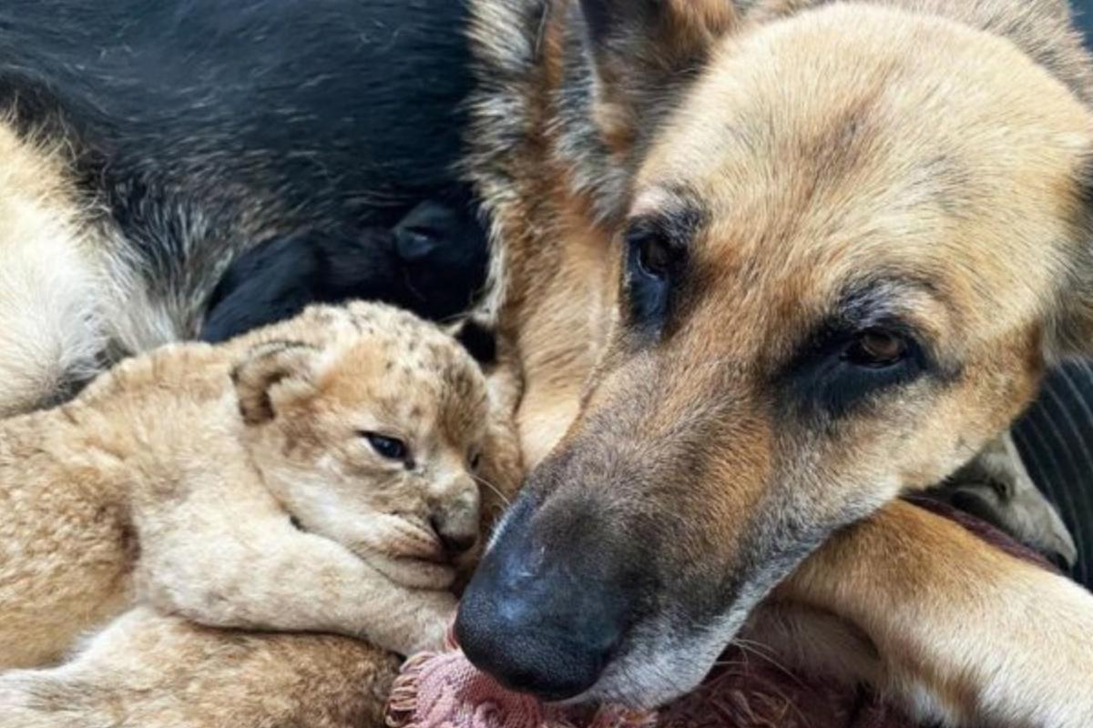 La cagnolina Sasha adotta due leoni