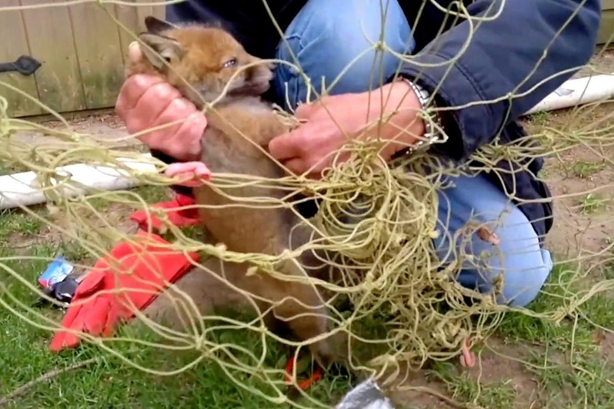 Volpe incastrata nella rete da calcio salvata dai volontari