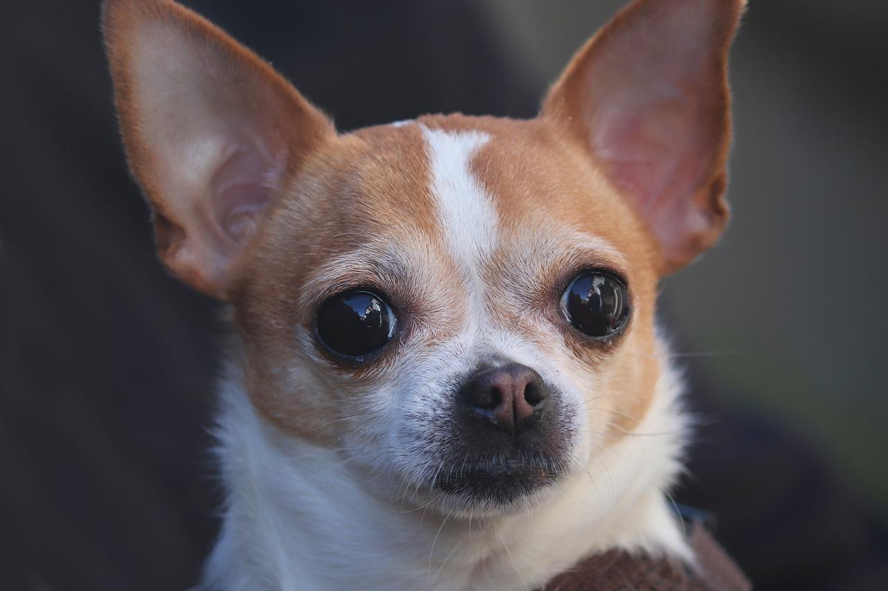 Chihuahua di 13 anni e il bambino