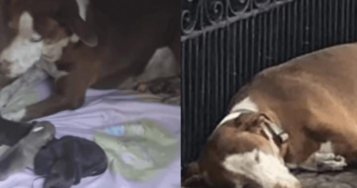 cagnolina abbandonata incinta