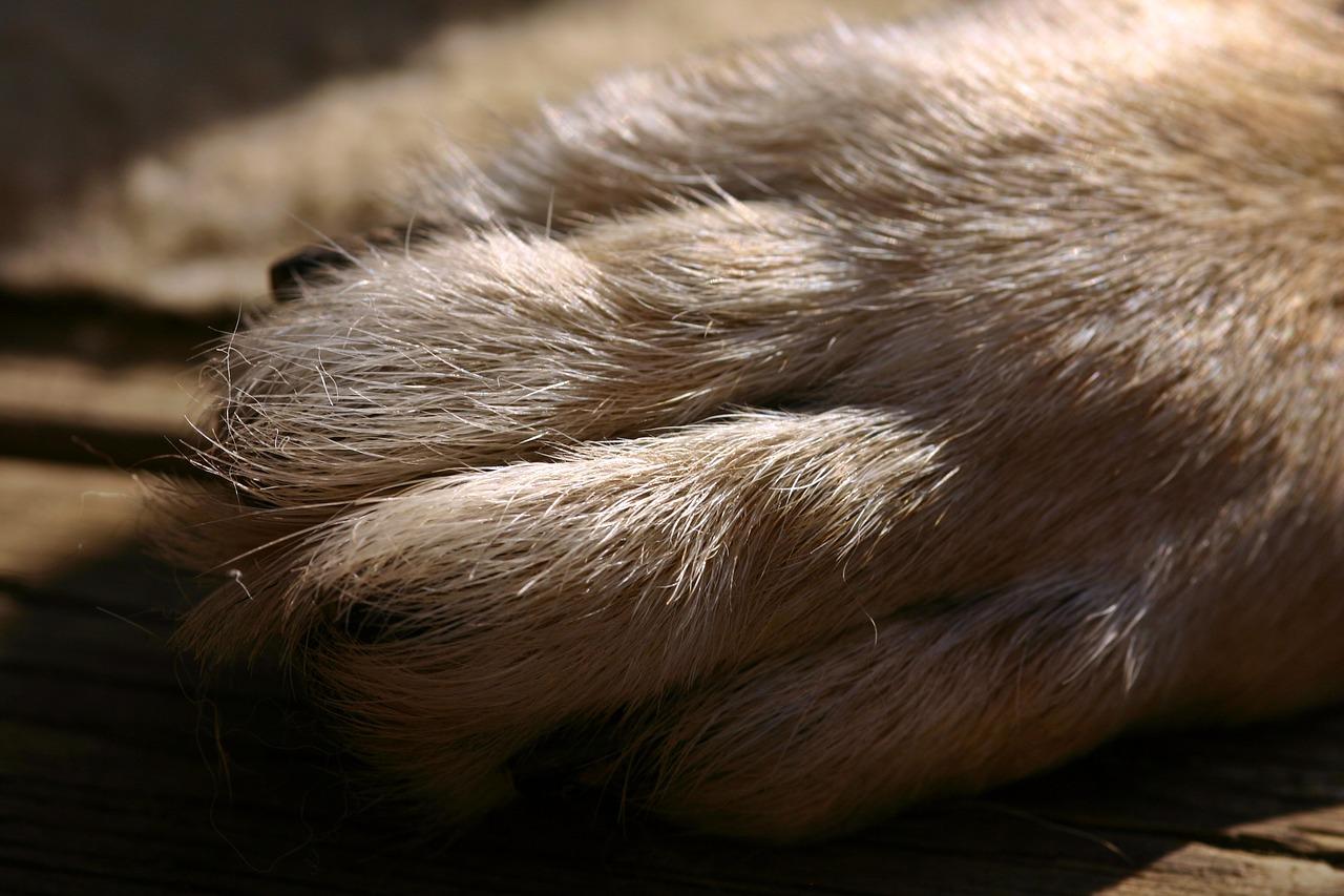 La zampa del cane pastore tedesco
