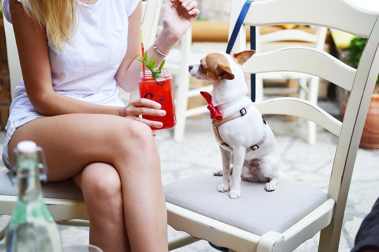 Chihuahua fa l'aperitivo