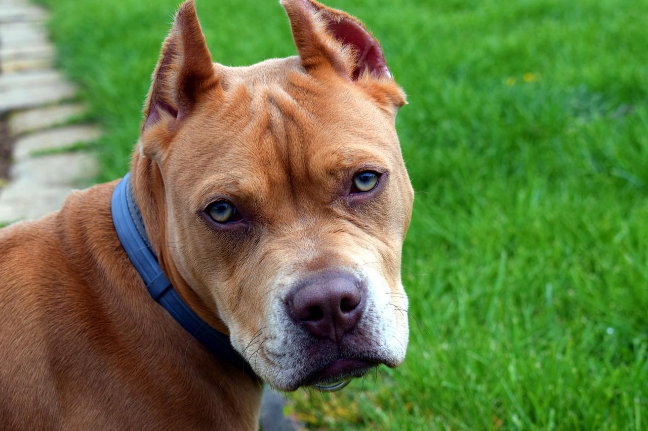 Cane di razza di pit bull