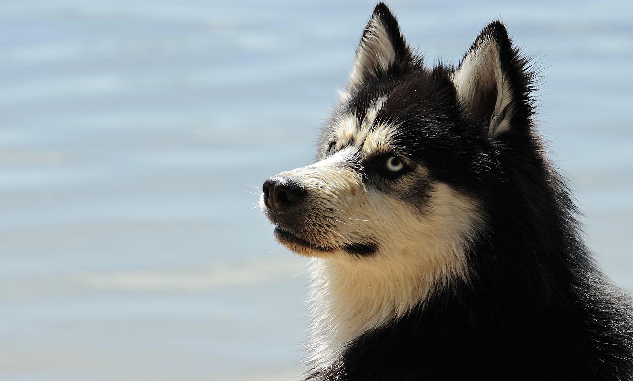 Husky anziano bisognoso di cure