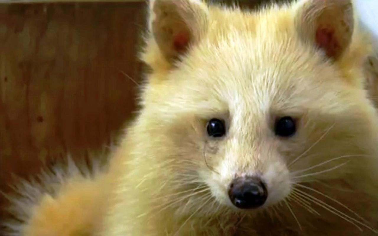 Un cucciolo di volpe era in realtà un procione