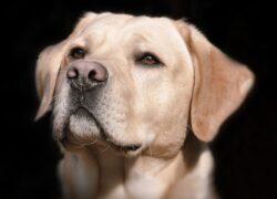 Labrador incinta di 12 cuccioli