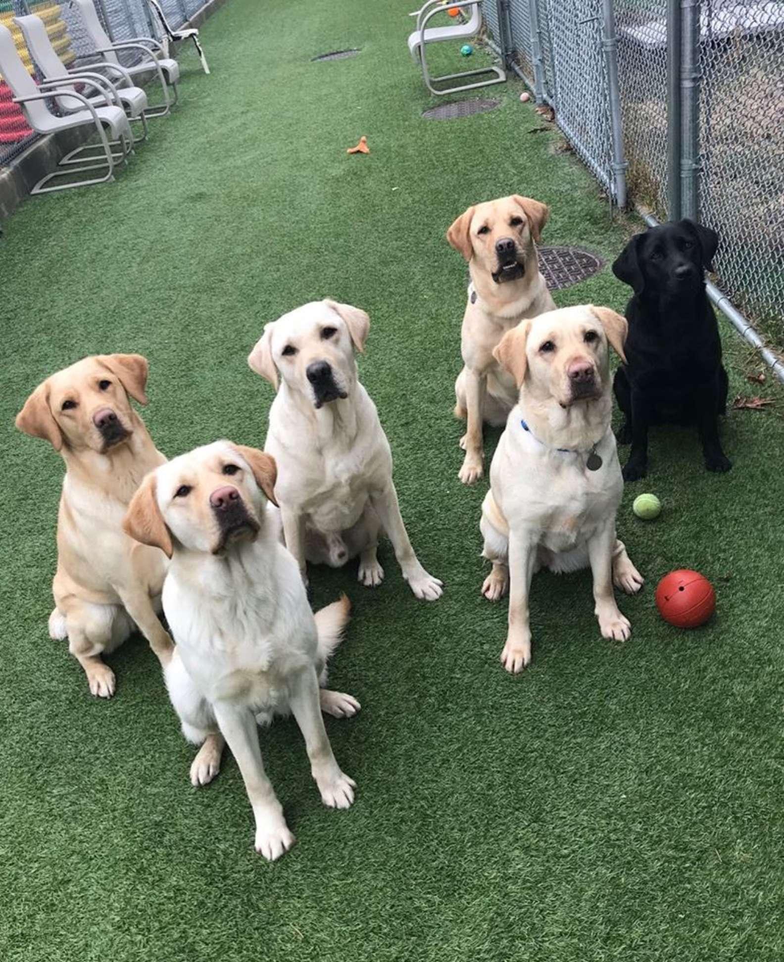 Cuccioli di Labrador addestrati